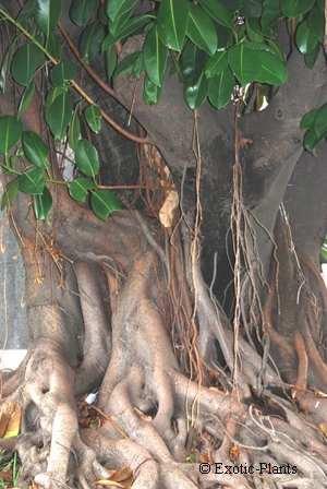 10 semillas de ficus religiosa - higuera de las pagodas 897