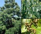 10 semillas de hovenia dulcis - arbol de las pasas cod. 883