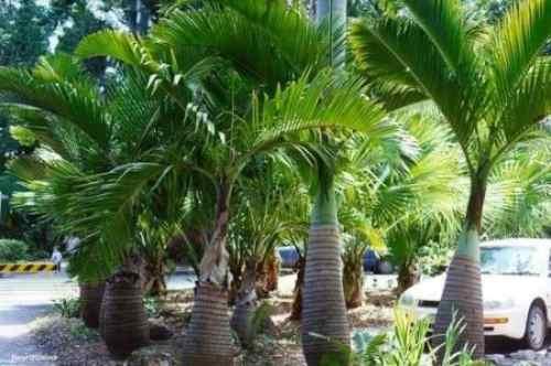 10 semillas de hyophorbe verschaffelti -palma astil c. 1336