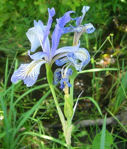 10 semillas de iris missouriensis - iris azul codigo 577