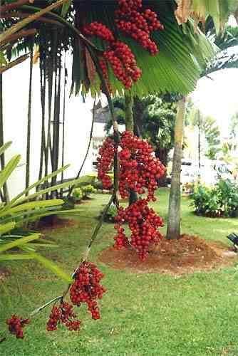 10 semillas de licuala grandis - palma totuma codigo 1337