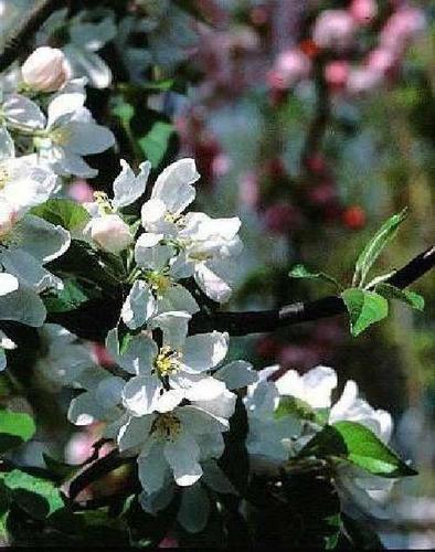 10 semillas de malus baccata - manzano de siberia cod. 980
