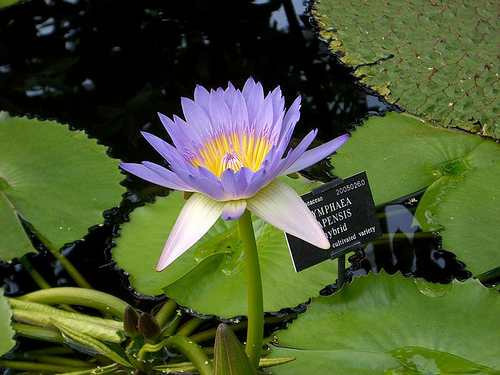 10 semillas de nymphaea capensis - nenufar purpura cod. 604