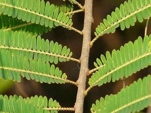 10 semillas de phyllanthus emblica - amalaki $50 cod. 1016