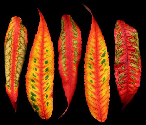 10 semillas de rhus typhina - zumaque codigo 824