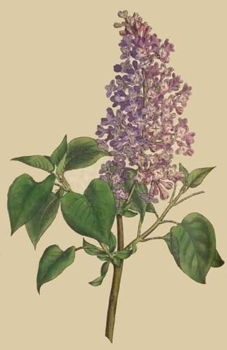 10 semillas de syringa vulgaris - lilo o lila codigo 819