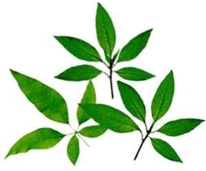 10 semillas de vitex negundo - chaste tree $50 codigo 307