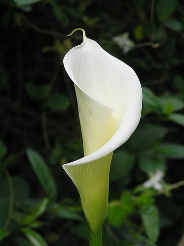 10 semillas de zantedeschia aethiopica - alcatraz cod. 591