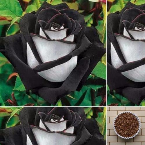 10 Semillas Rosa Negra Con Blanco 100 00 En Mercado Libre