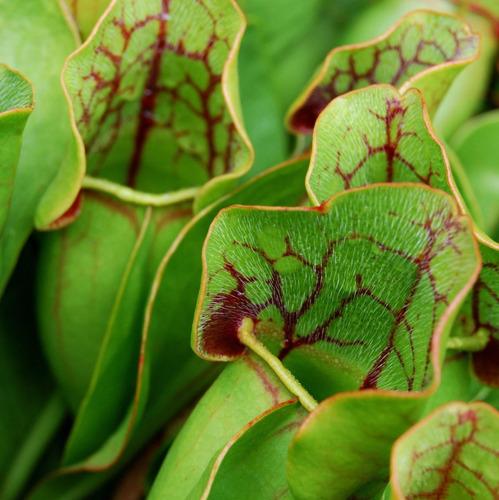 10 semillas sarracenias - plantas carnívoras