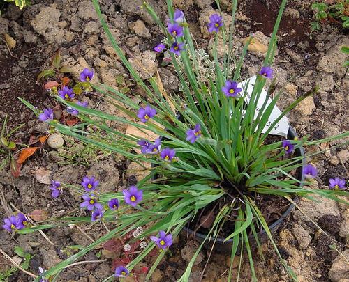 10 semillas sisyrinchium bellum - dietes azul codigo 585