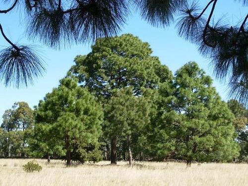 100 gr. semillas de pinus devoniana - pino michoacano 916-a