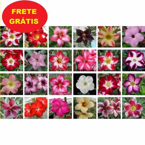100 mudas rosas do deserto , mudas frete gratis