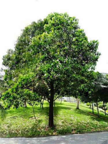 100 sementes acacia mangium australiana árvore madeira