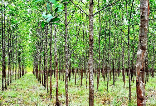 100 sementes acacia mangium australiana + frete simples