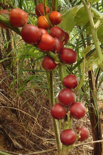 100 sementes cubiú maná da amazônia - solanum sessiliflorum