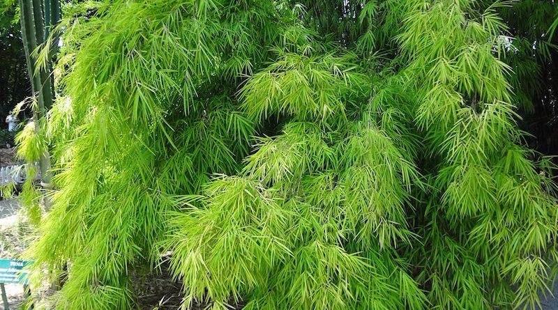100 sementes de bambuzinho de jardim com garantia r for Bambu giardino