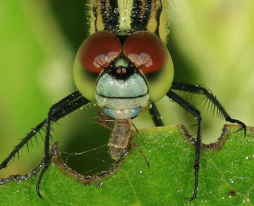 100 sementes de crotalaria contra zika, dengue e mosquitos