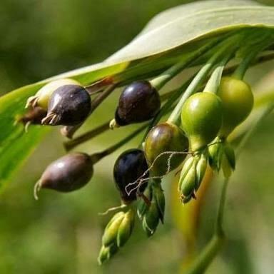 100 sementes de lágrimas de nossa senhora para plantar