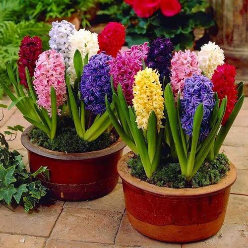 100 sementes de lindas flores jacinto hot várias cores