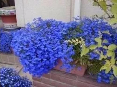 100 sementes de lobélia azul p/ mudas flores jardim e vaso