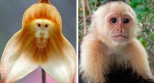 100  sementes de orquídeas cara de macaco +super brinde