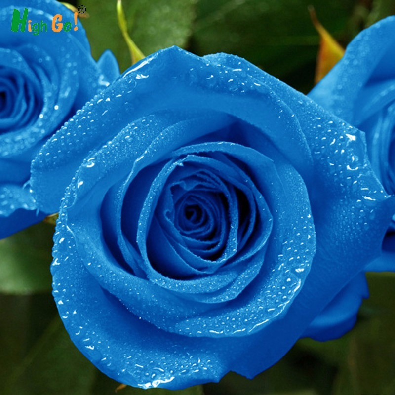 e58e67a16 100 sementes de rosa azul flor exótica blue roseira rara. Carregando zoom.