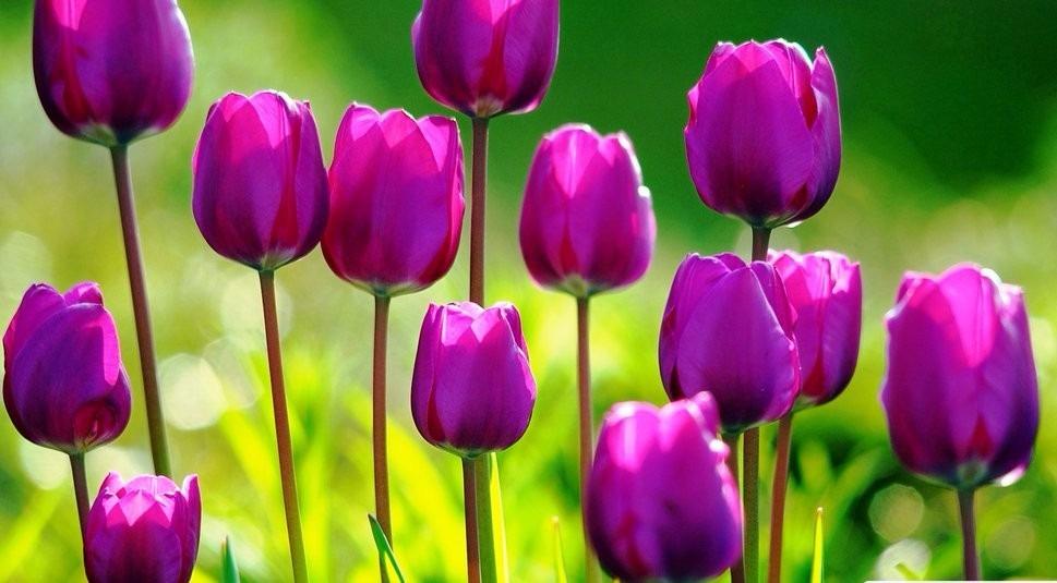 Resultado de imagem para Tulipa