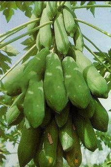 100 sementes do mamão vietnamita kaek dahm grande produção!