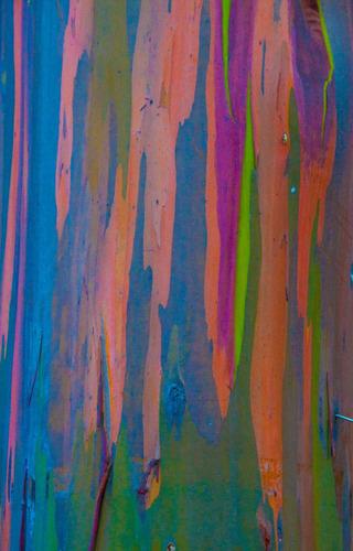 100 sementes frescas eucalipto arco iris eucaliptus deglupta
