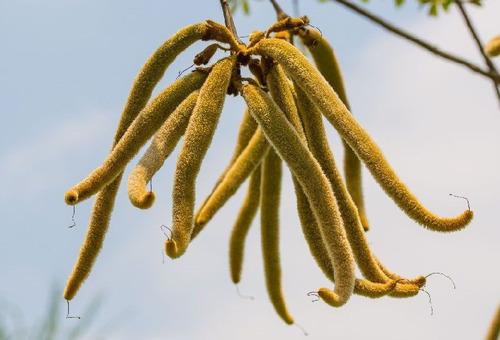 100 sementes ipê amarelo dourado tabebuia chrysotricha