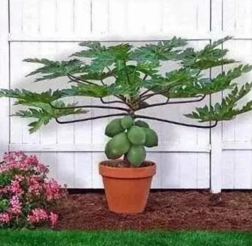 100 sementes mamão anão do amazonas papaya