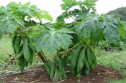 100 sementes mamão kaek dahm vietnamita alta produção!