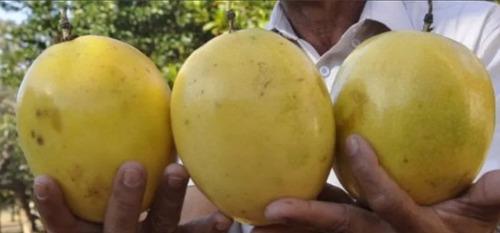 100 sementes maracuja azedo gigante !# envio gratis