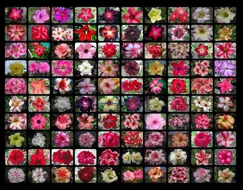 100 sementes mista rosa do deserto 30 tipos frete unico r$8