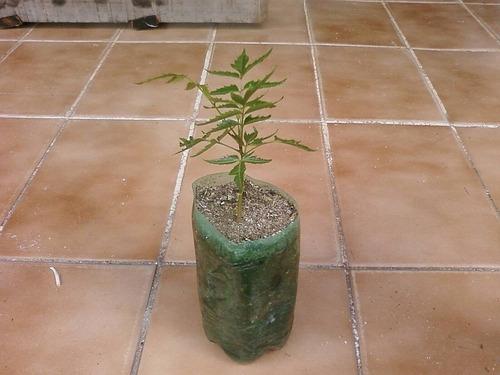100 sementes-neem indiano+tutorial da embrapa +frete r$ 9,99