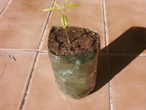 100 sementes-neem indiano + tutorial da embrapa +frete r$8