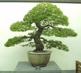 100 Sementes Pinheiro Vermelho Japones P Arvores Ou Bonsai