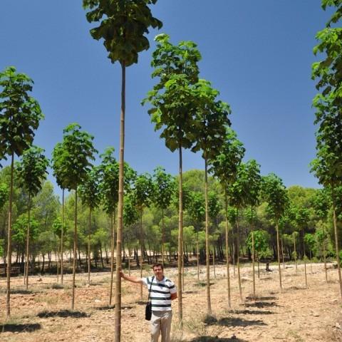 100 semillas arbol paulownia certificada maderable