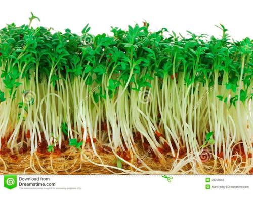 100 semillas de berro de jardín o berro de tierra mastuerzo