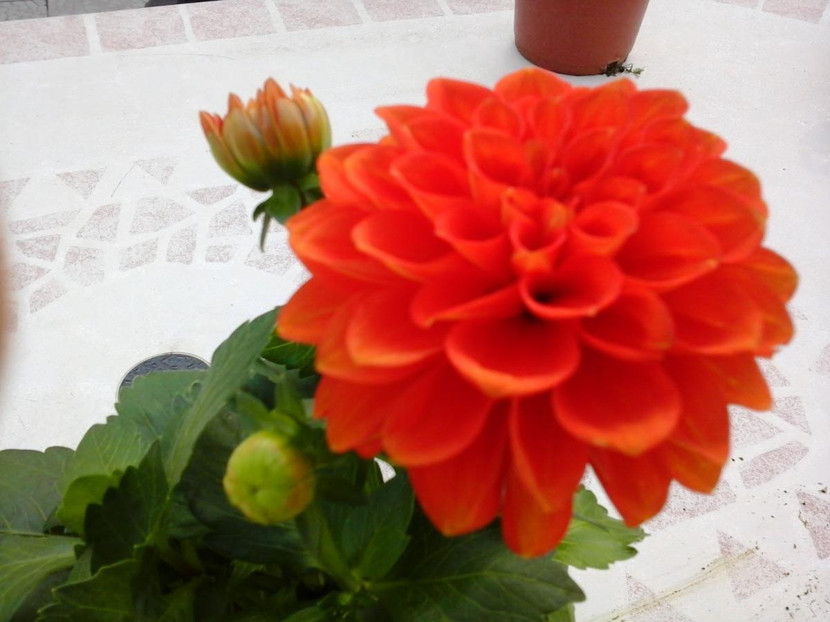 100 semillas de dalia variada dahlia enana flor mexicana for Que plantas poner en una jardinera