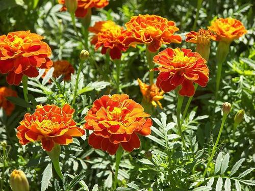 100 semillas de flor copete o tagete