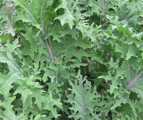 100 semillas de kale red russian