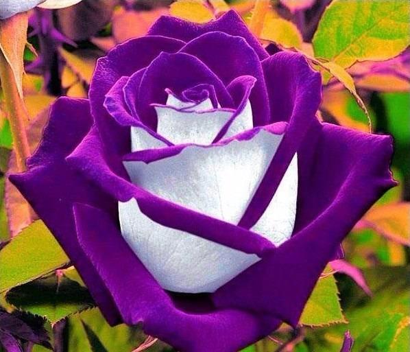 15 Most Beautiful Black Flowers: 100 Semillas De Rosas Exóticas 5 Colores