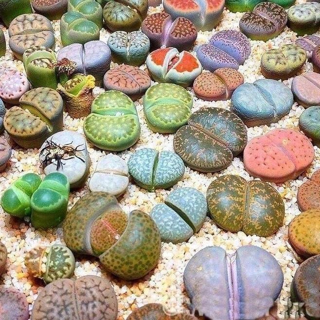 100 Semillas Planta Lithops Cactus Piedra Sustrato Y Gua