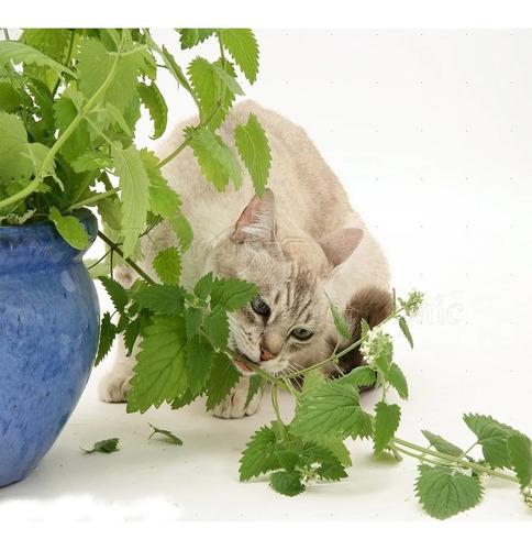 1000 catnip sementes de erva do gato frete gratis brasil !!!