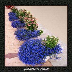 Sementes De Lobelia Riviera Lilac Sementes De Flores Em Paraná No