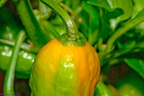1000 sementes da pimenta bhut jolokia a mais forte do mundo