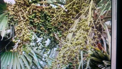 1.000 sementes de carnaúba para plantio