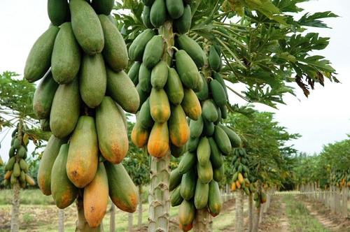 1.000 sementes de mamão havaí - frete grátis